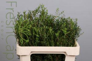 Agathosma grower, exporter & producer