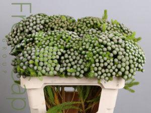 Brunia Albiflora grower, exporter & producer