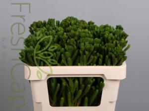 Brunia Albigreen grower, exporter & producer