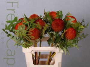 Banksia Baxteri Orange grower, exporter & producer