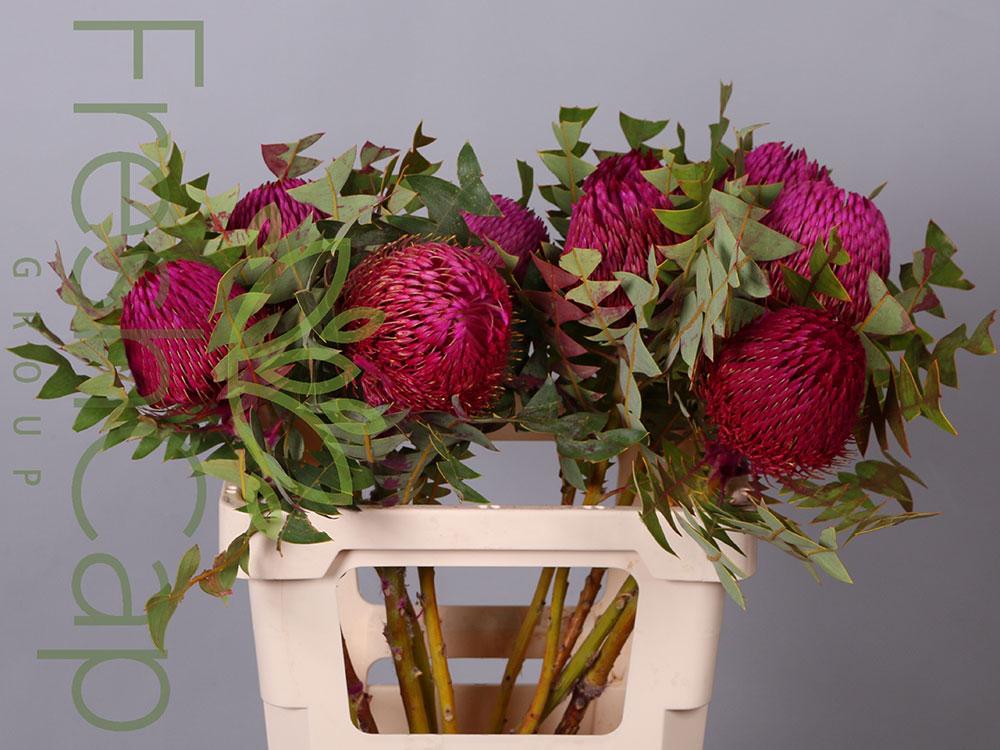 Banksia Baxteri Pink