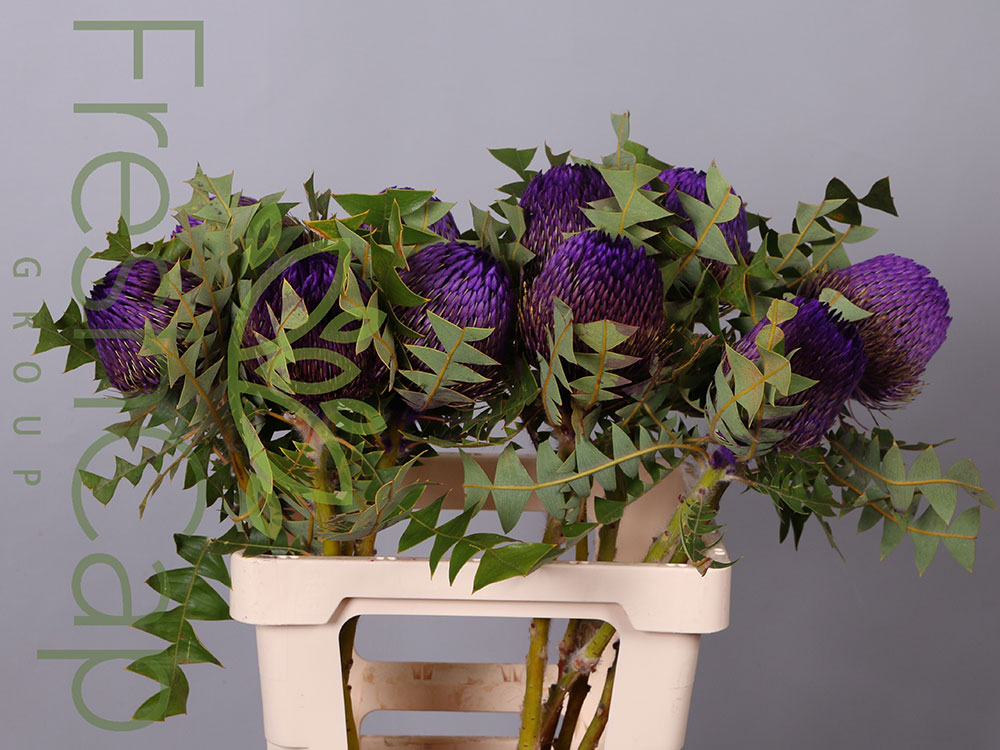 Banksia Baxteri Purple