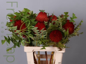 Banksia Baxteri Red grower, exporter & producer