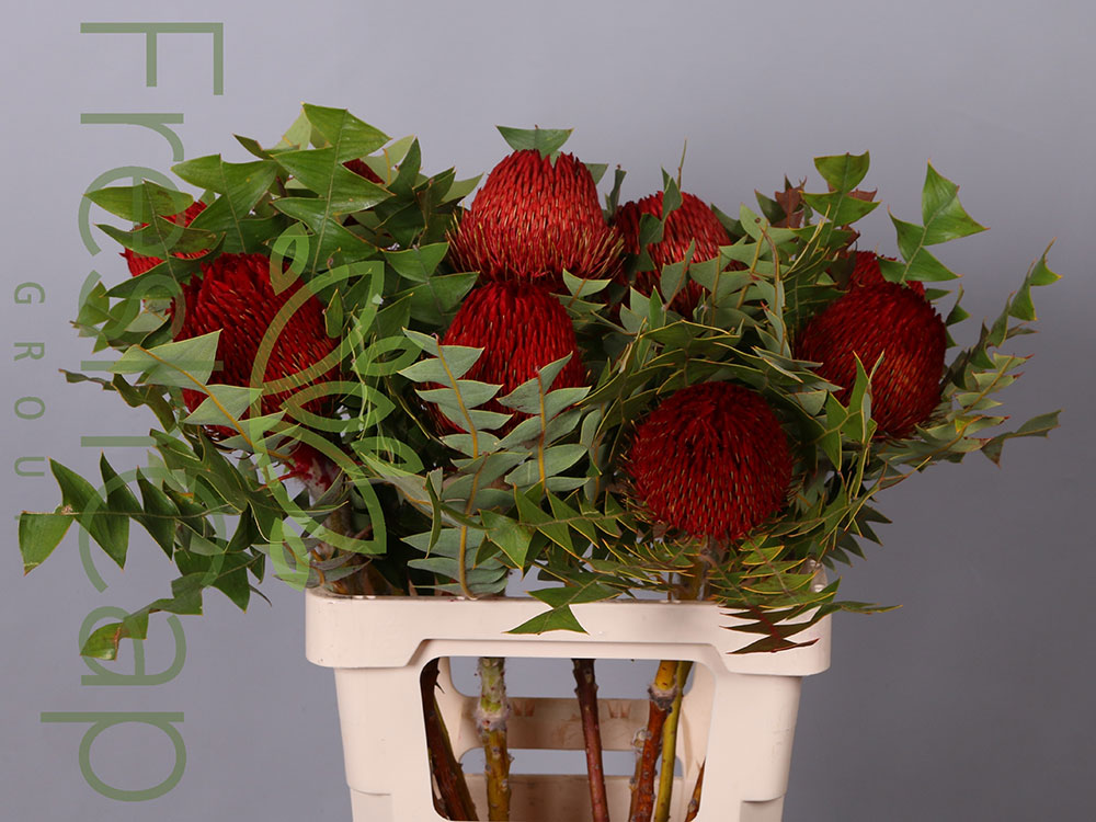Banksia Baxteri Red