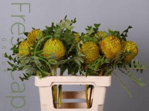 Banksia Baxteri Yellow grower, exporter & producer
