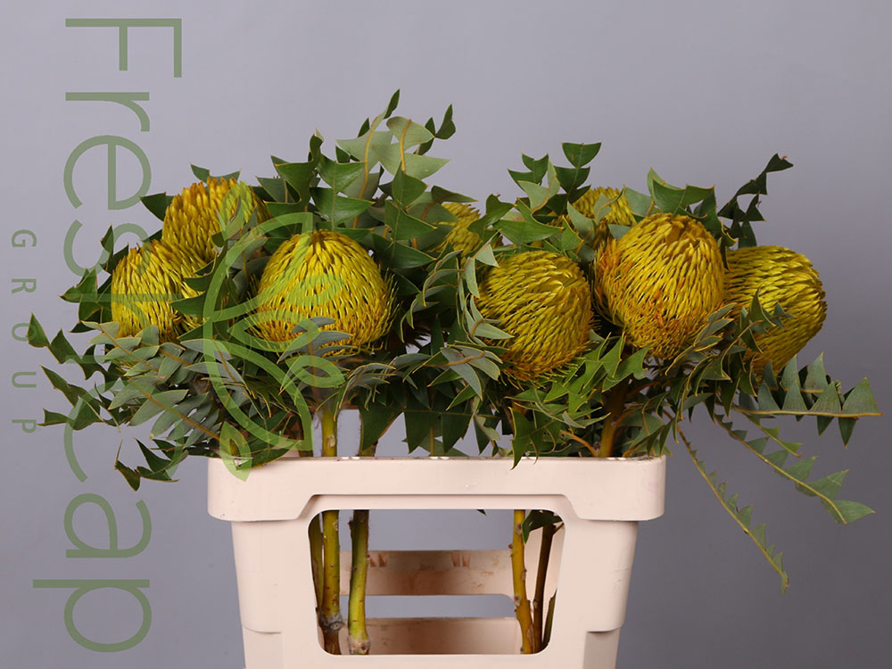Banksia Baxteri Yellow