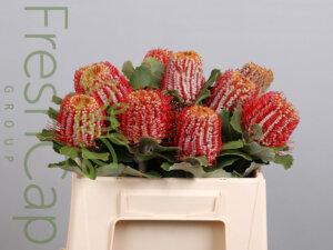 Banksia Coccinea grower, exporter & producer