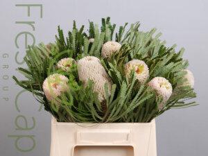 Banksia Hookeriana grower, exporter & producer