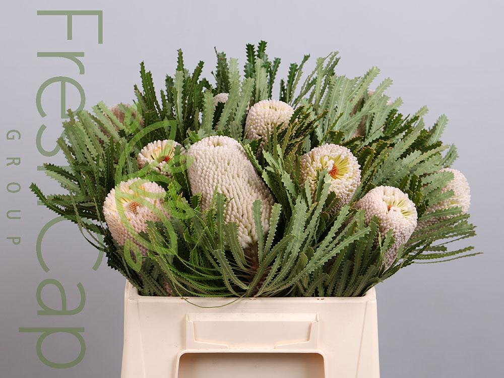 Banksia Hookeriana