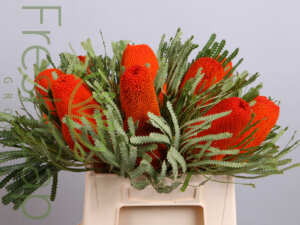 Banksia Hookeriana Orange grower, exporter & producer