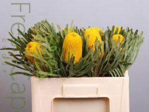 Banksia Hookeriana Yellow grower, exporter & producer