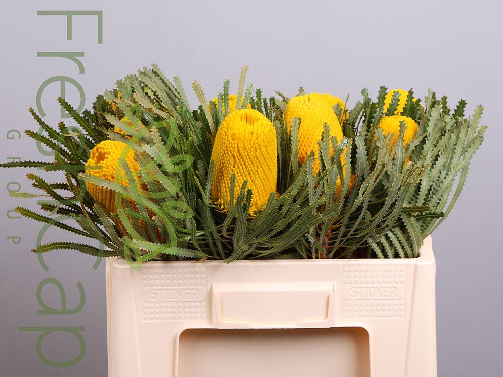 Banksia Hookeriana Yellow