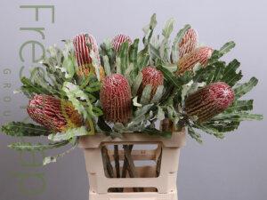 Banksia Menziesii grower, exporter & producer
