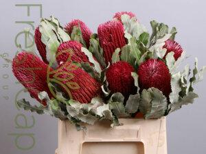 Banksia Menziesii Red
