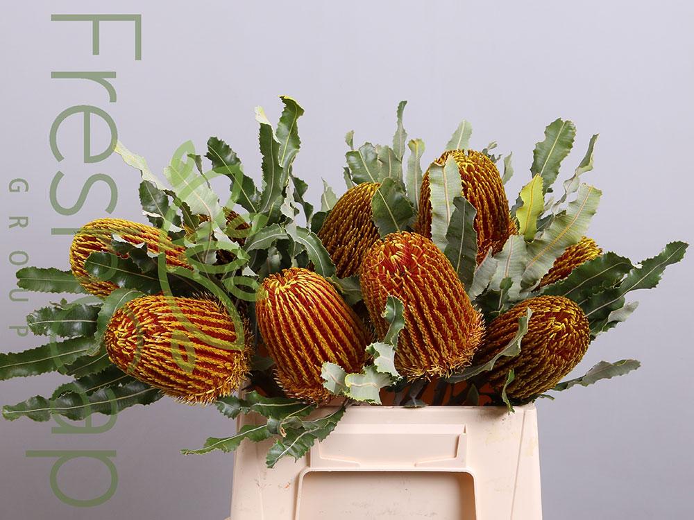 Banksia Menziesii Yellow