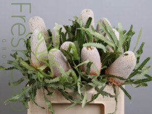 Banksia Prionotes - cape floral grower & exporter