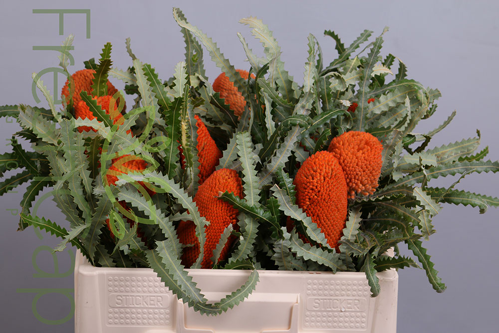 Banksia Prionotes Orange