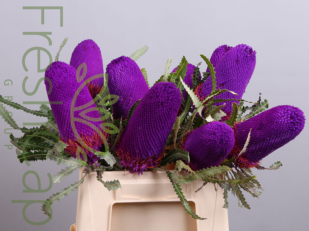 Banksia Prionotes Purple