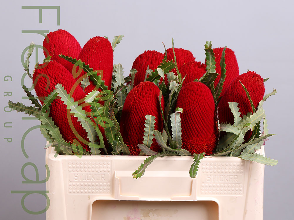 Banksia Prionotes Red