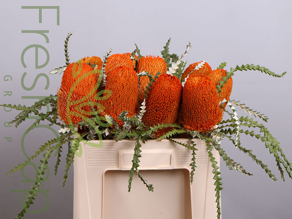 Banksia Speciosa Orange