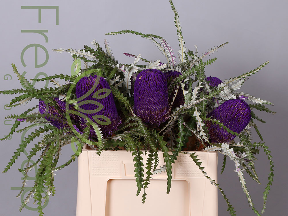 Banksia Speciosa Purple
