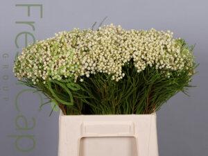 Berzelia Lanuginosa White grower, exporter & producer