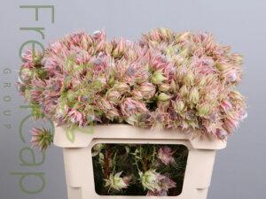 Serruria Blushing Bride Pink
