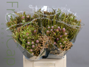 Bouquet Cone Mix exporter, grower & producer