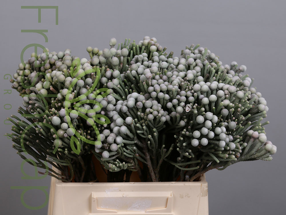 Brunia Laevis (Silver Brunia)