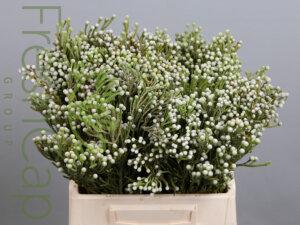 Brunia Nodiflora grower, exporter & producer