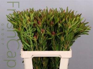 FreshCap Leucadendron Ayoba Cherry Pearl