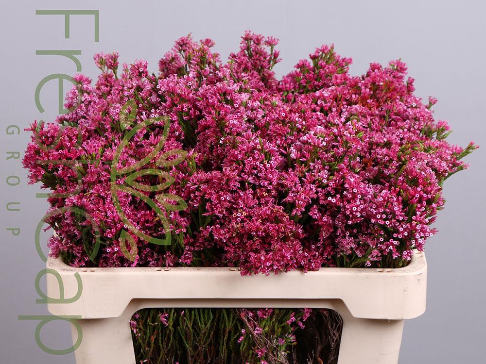 Erica Borbonifolia