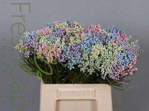 Bouquet Lanuginosa Pastel grower, exporter & producer