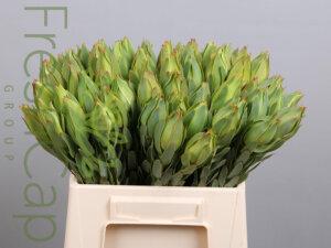 """FreshCap Leucadendron African Tulip """"Sky High"""""""