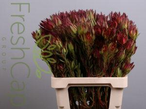 FreshCap Leucadendron Candle
