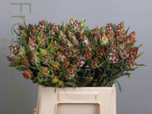 Leucadendron Plumosum (Rubrum)