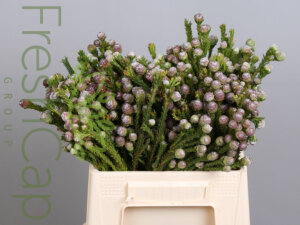 Leucadendron Tortum Female