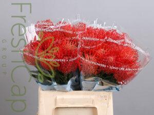 Leucospermum Anouk