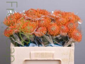 Leucospermum Ayoba Orange