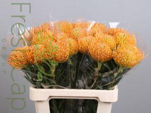 Leucospermum Ayoba Peach