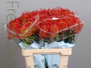 Leucospermum Empress Red