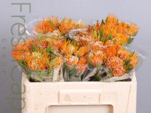 Leucospermum Erubescens