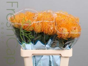 Leucospermum Soleil