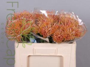Leucospermum Spider