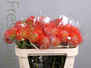Leucospermum Succession - cape floral grower & exporter