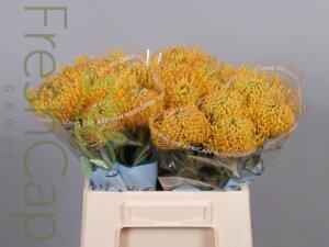 Leucospermum Super Gold