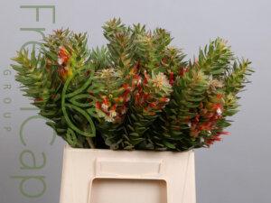 Mimetes Hirtus grower, exporter & producer