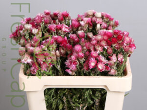 Phaenocoma grower, exporter & producer