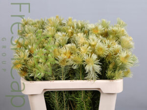 Phylica Pubescens grower, exporter & producer