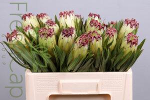 Protea Limelight